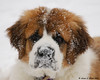 03.02.2009  My parent's saint bernard puppy (14 weeks) after playing in the fresh snow.