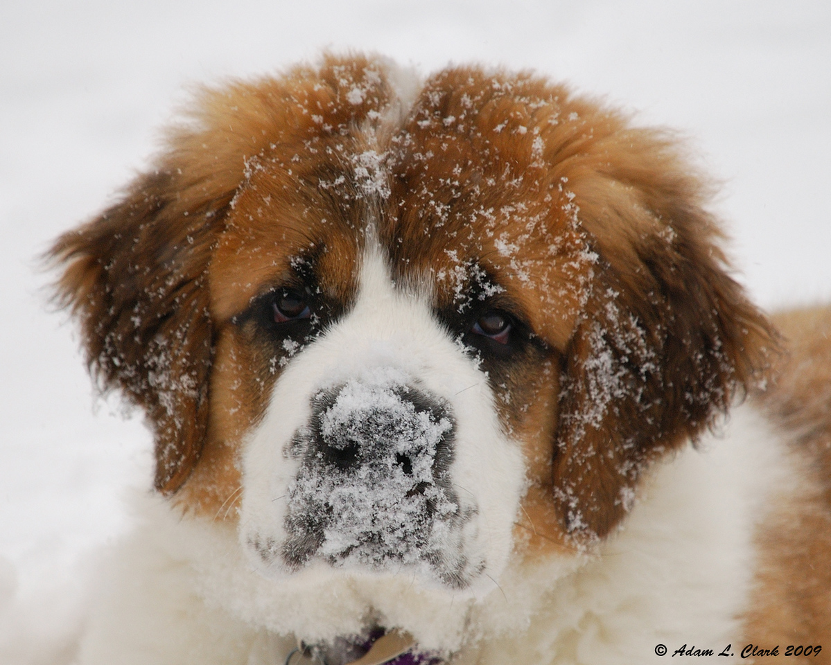 03.02.2009<br /> <br /> My parent's saint bernard puppy (14 weeks) after playing in the fresh snow.