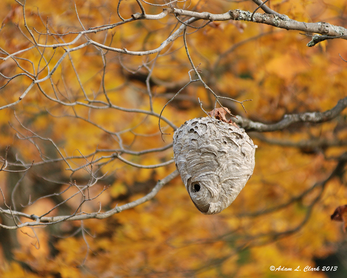 10.07.2013<br /> <br /> A wasp nest with some fall color behind it